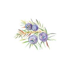 Juniper berries watercolor vector