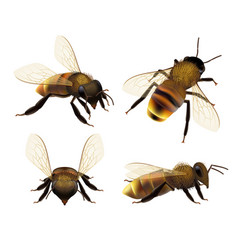 bee realistic wildlife insect honeybee fly danger vector image