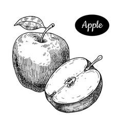 hand drawn sketch style fresh apple vector image