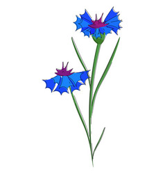 Blue cornflowers or color vector