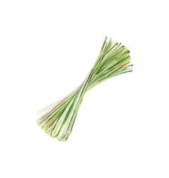 lemongrass bulbs and stems watercolor vector image