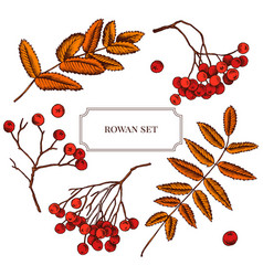 Collection of hand drawn rowan berry vector