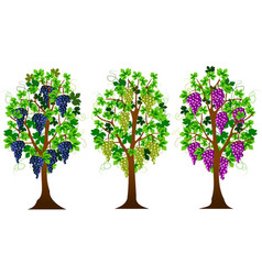grapevine vector image vector image