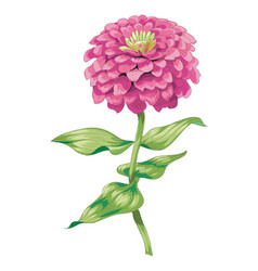 Beautiful pink zinnia flower isolated on white vector