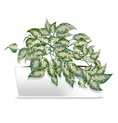 Spotted plant in a white pot element of home vector