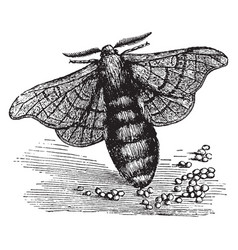 Female silkworm moth vintage vector