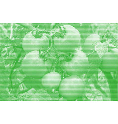 Image collage of tomatoes on a branch from vector