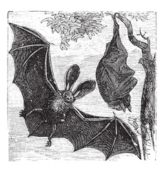 Brown bat vintage engraved vector image