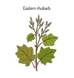 eastern rhubarb rheum officinale medicinal plant vector image