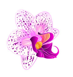 purple and white orchid phalaenopsis vector image