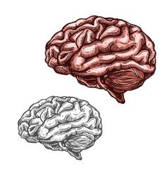 Human organ brain sketch icon vector