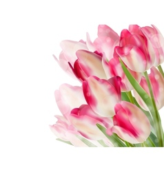 Tulip flowers isolated on white EPS 10 vector image vector image