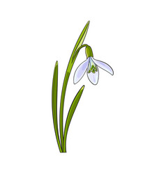 Single galanthus snowdrop spring flower with stem vector
