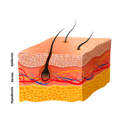Detailed human skin structure medical vector