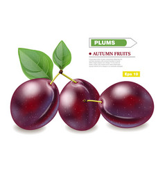 plums realistic isolated fruits harvest vector image