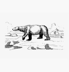 Polar bear vintage drawing vector