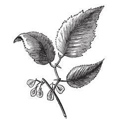 Slippery elm vintage engraving vector