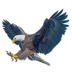 bald eagle winged flying swoop attack vector image