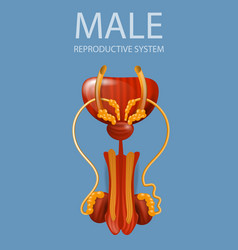 Close up view male reproductive system banner vector