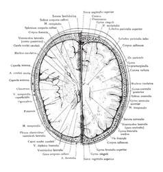 cross section head 2 cm above supraorbital vector image