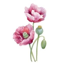 Watercolor blooming poppy flowers vector