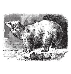 Polar bear vintage engraving vector image