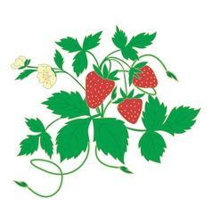 Blossom strawberry vector