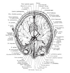 Cross section of head through eyeballs vintage vector