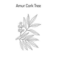 Amur cork tree phellodendron amurense chinese vector