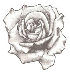 Hand drawn rose vector