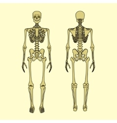 Human skeleton front and rear view vector