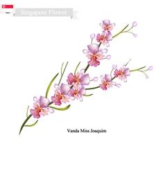 Vanda Miss Joaquim National Flower of Singapore vector image
