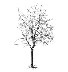 silver maple after severe heading back vintage vector image