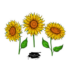 Sunflower flower drawing set hand drawn vector