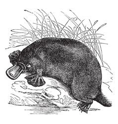 Platypus vintage engraving vector image vector image