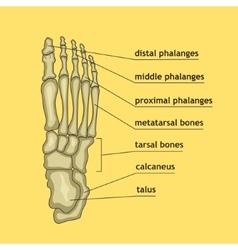Foot bones with explanation vector image vector image