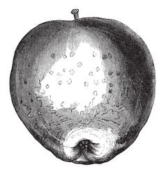 Westfield seek-no-further apple vintage vector
