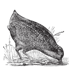 American Woodcock vintage engraving vector image vector image