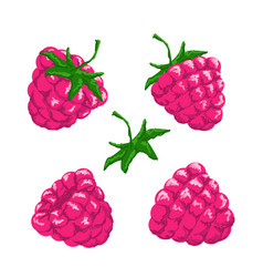 raspberry berries set vector image