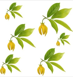 Ylang-ylang flower vector