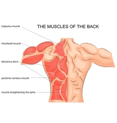muscles of the back bodybuilder vector image vector image