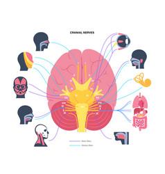 Cranial nerves diagram vector