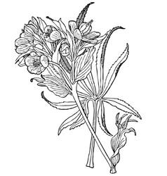 plant helleborus foetidus vector image