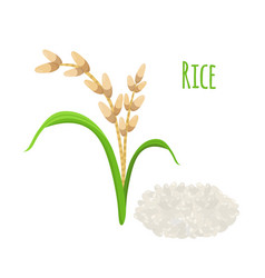 rice plant vegetarian food harvest oryza wheat vector image