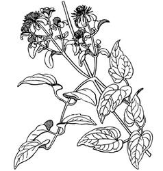 plant clematis vitalba vector image