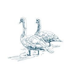 two geese graze on a farm beautiful white swans vector image