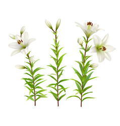 white lilies set of realistic flowers vector image