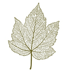 maple leaf isolated vector image