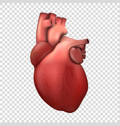 3d realistic health heart model icon vector image