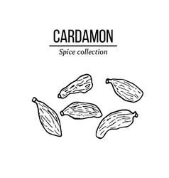 spice collection cardamon hand drawn vector image